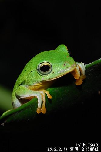 台北樹蛙(10)