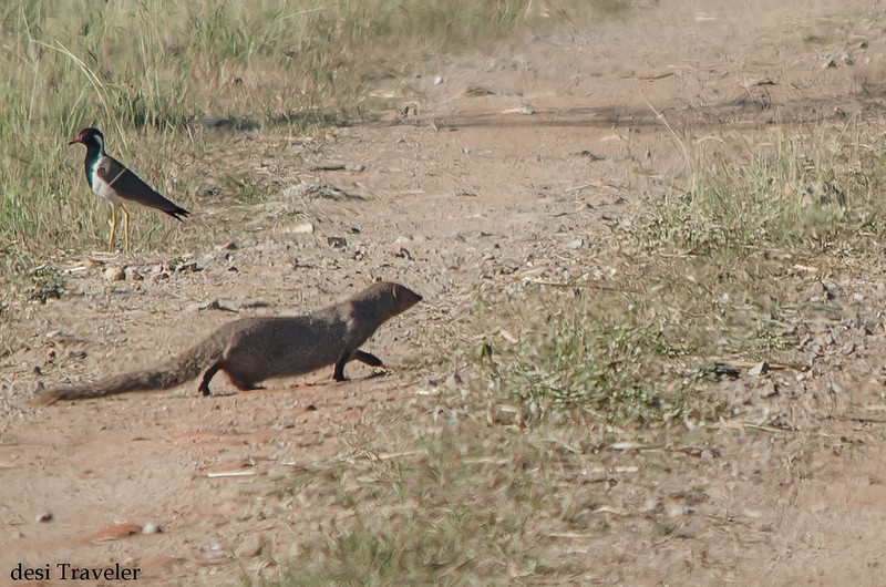 A Mongoose walking on the road with a bird in background