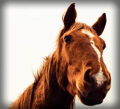 [免费图片素材] 动物 (哺乳动物), 马 ID:201303271000