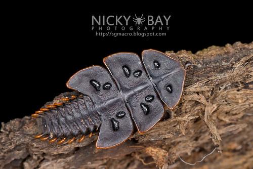 Trilobite Beetle larva  (Duliticola hoseini) - DSC_9340