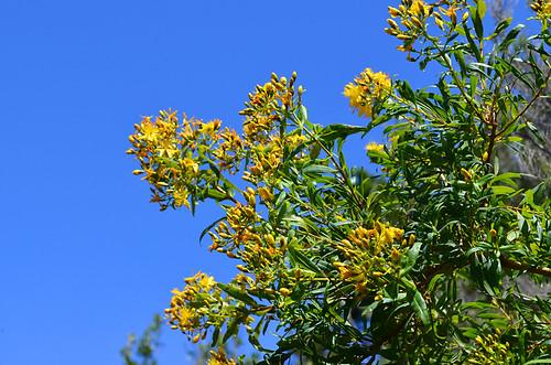 Hypericum canariense, Canary Islands St John's Wort