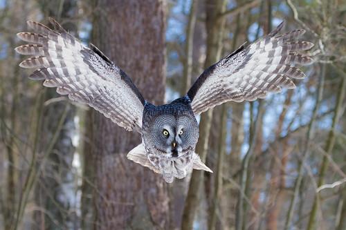 Great Grey Owl #5
