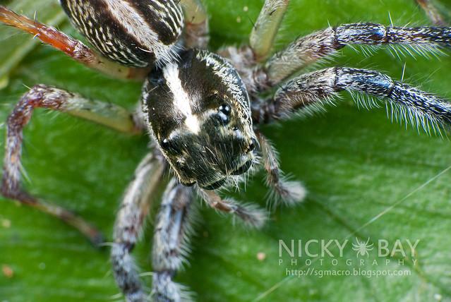 Jumping Spider (Salticidae) - DSC_8976
