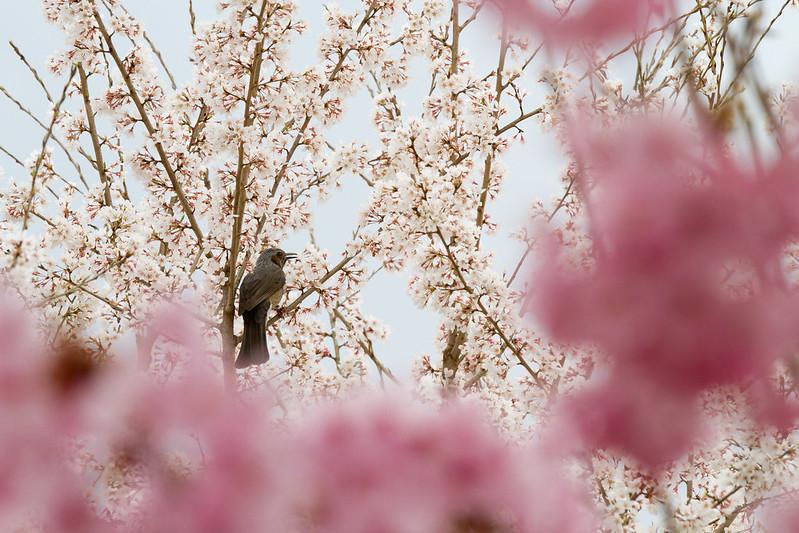 Sakura in Kyoto 33