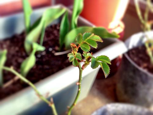 Mini rose bush
