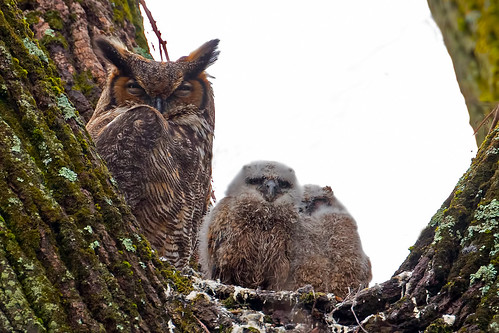 Great Horned Owl Mother and Chicks