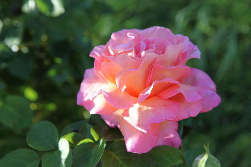 rose_128
