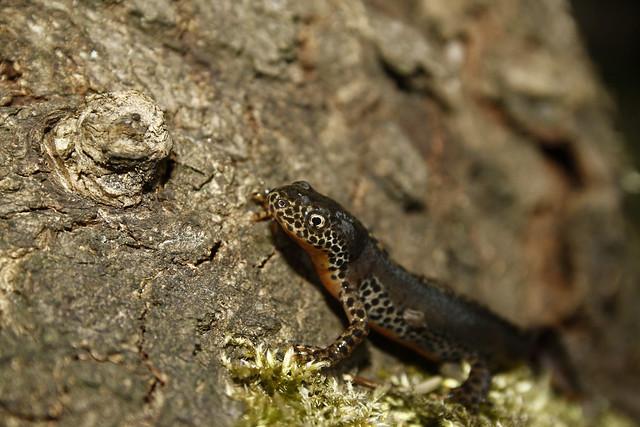 Male Alpine newt