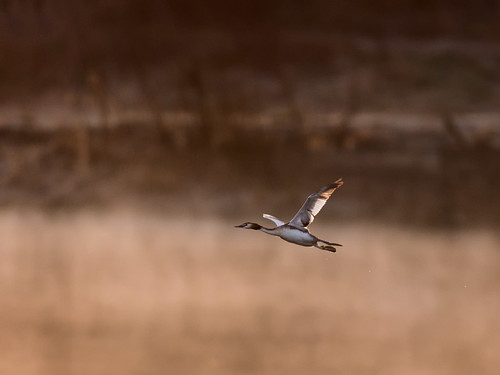 Great-crested grebe-dawn flight