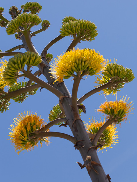 Agave, in Bloom