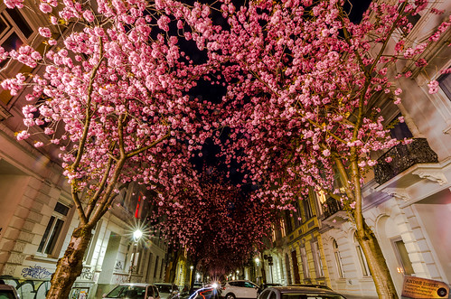 Cherry Blossom Trees Bonn - Germany
