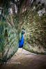 peacock bird leica m9 summilux 50mm f14 oz aussie street australia australian sydney summiluxm 50 14