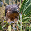 Red-tailed Hawk considers becoming a seed eater