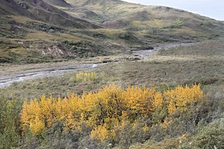 Denali NP ~ splash of Tundra color - HTMT!