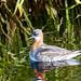 Red necked phalarope (Alan Bevis)