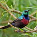 Red-chested Sunbird, Queen Elizabeth National Park (Ian and Kate Bruce)