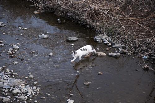 川を渡ろうとする猫 (1)