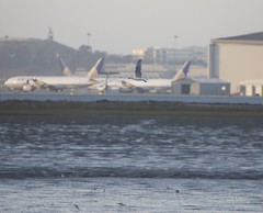 Boeing 777-200 United - Continental post-merger colors and sea gull, wading birds.