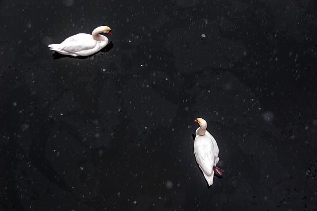 Promenade dans la neige - Cygnes