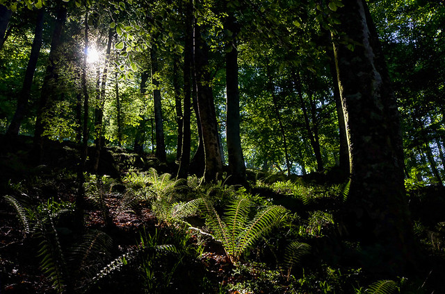 Beech forest in Saja Besaya, Cantabria