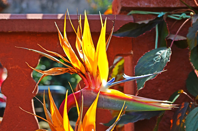 Bird of Paradise, north Tenerife