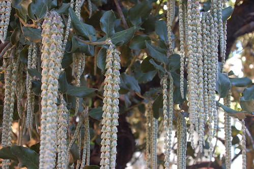 ropes of hanging bell blossoms!.JPG