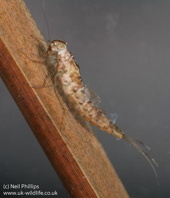 pond olive mayfly larva-2