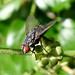 Small photo of Flesh-fly sp. Sarcophagidae