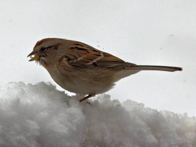 American Tree Sparrow 20130305