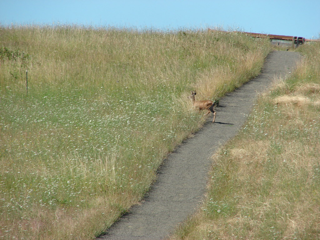 Buck crossing the trail