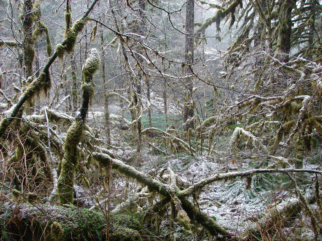 Snow along the Little North Santiam Trail