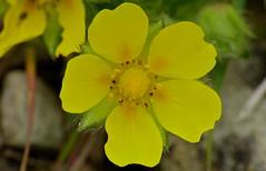 Spring Cinquefoil (Potentilla neumanniana)
