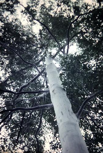Eucalyptus saligna (Sydney Blue Gum)