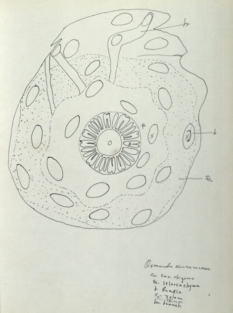 Drawing for botany studies, undated