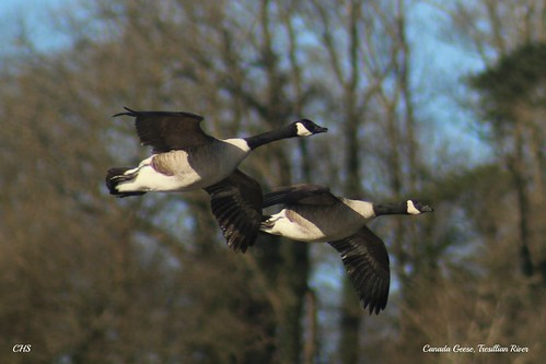 Canada Geese, Tresillian River, Cornwall by Claire Stocker (Stocker Images)