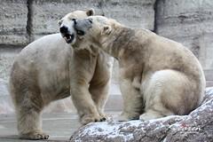 Giovanna&Yoghi - Cappuccino Bears