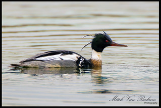 """SPIKE"" - Red-breasted Merganser (Mergus serrator)"