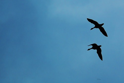 Geese by birbee