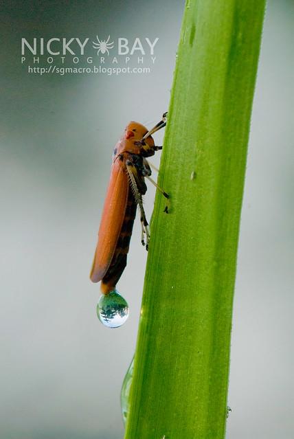 Leafhopper (Cicadellidae) - DSC_1641
