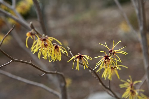 Marvelous Witch Hazel