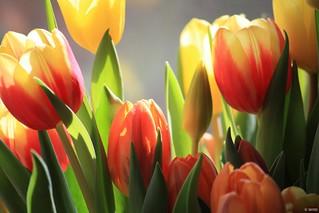 Tulips (Tulpen) III