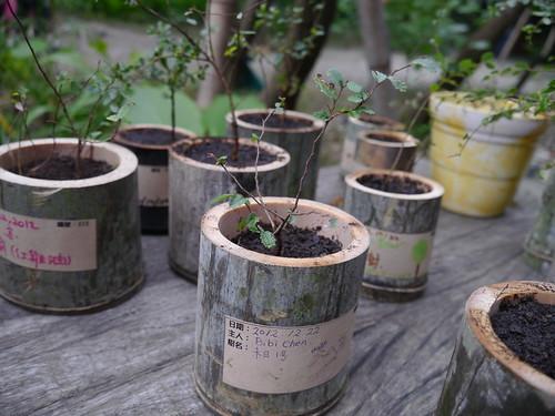 移植到暫時的竹筒新家的小榔榆苗