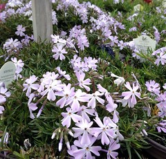 PHLOX  CREEPING 'EMERALD BLUE'