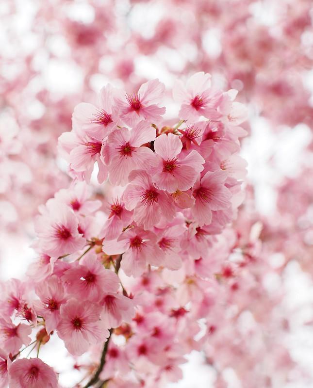Sakura Cherry blossom 'Yoh Koh' , 桜 陽光