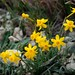 Narcisos en La Valltorta (Narcissus assoanus) by mantelle