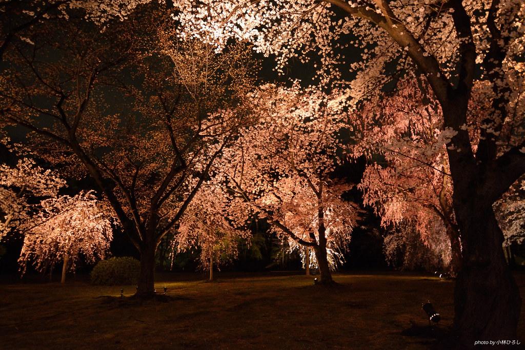二条城夜桜