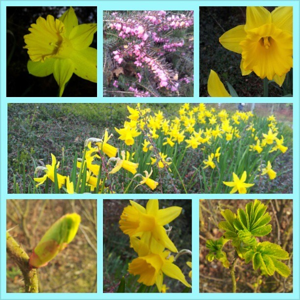 Spring has finally arrived in Ireland. The jonquils and heather are in bloom, the wild rose has buds and baby leaves and today is the second day of cool sunshine. #Ireland #spring #springtime #photography #flowers #sunshine #aboutdarntime #dublin #miracle