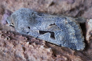 Hebrew Character (Orthosia gothica)