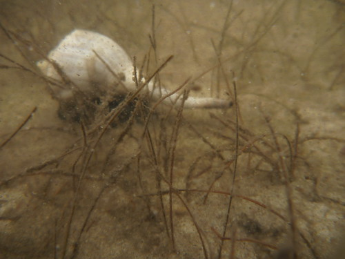 Lightning whelk in shoal grass on Bay Mouth Bar