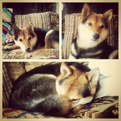 Captain Cuddles on the couch. #shinobi #shibainu #picstitch